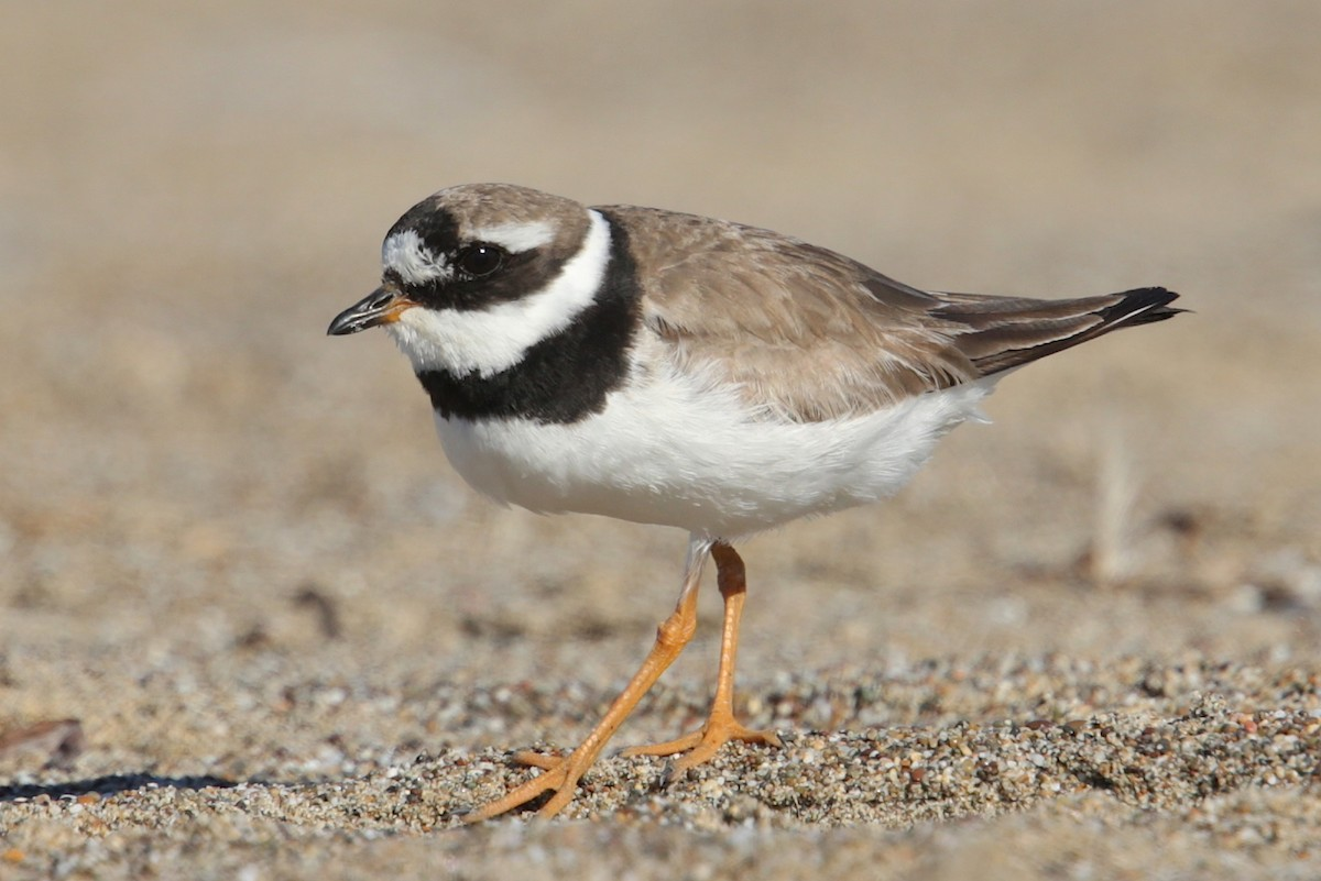 Common Ringed Plover, a species that breeds in Eurasia, was seen at Point Reyes National Seashore in October 2018