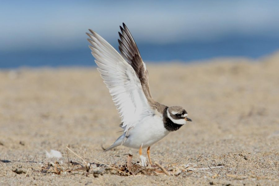 Common Ringed Plover , a species that breeds in Eurasia, was seen at Pt Reyes National Seashore in October 2018