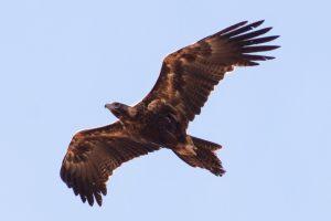 Mass Eagle Poisoning