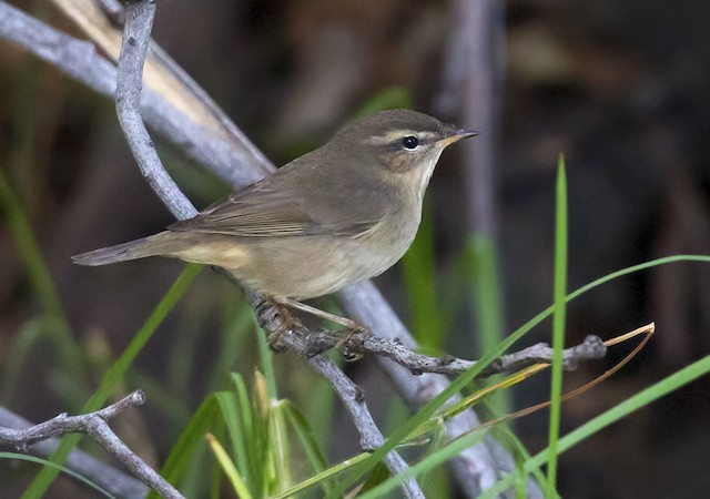 Dusky Warbler, like this one in San Mateo, has also been seen in Marin, with one individual being seen at GGNRA's Redwood Creek in 2015