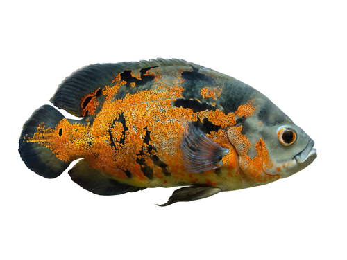 An Oscar fish is an omnivorous fish that requires a lot of care.