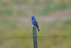 A male Blue Grosbeak sings for his mate on a fencepost in Boulder County, Colorado. Over 25% of all migratory birds like this one were lost since 1970, according to a new study.