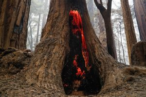 The inside of a redwood remains burning after the fire has passed.