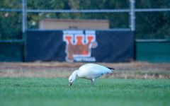 This Snow Goose, a rare visitor to the SF bay and Peninsula, has spent the last few days foraging on Woodside's Softball field, much to the delight of many.